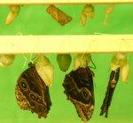 Во Владимир привезли живых тропических бабочек